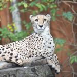 Gepard im Zoo Rostock_Foto Zoo Rostock_Kloock